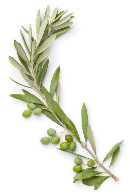 Organic olives for the best olive oil